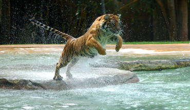 Animals jumping tigers water HD wallpaper