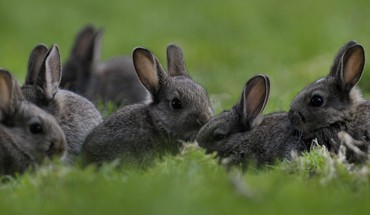 Rabbits HD wallpaper