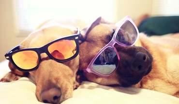 Animals dogs funny sunglasses sleeping HD wallpaper