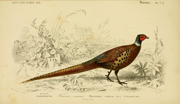 Pheasant HD wallpaper