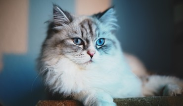 Blue cat meow HD wallpaper