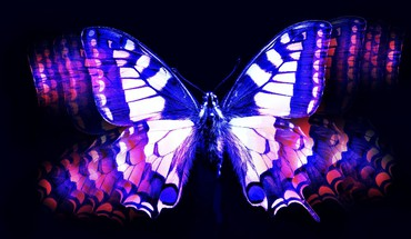 Blue and pink butterfly HD wallpaper