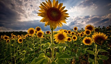 Clouds flowers skyscapes sunflowers HD wallpaper