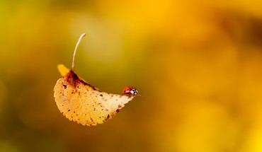 Bugs ladybirds leaves macro HD wallpaper