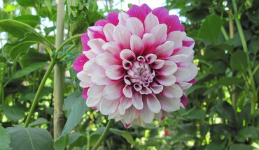 Two tone dahlia HD wallpaper
