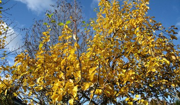 Yellow appletree HD wallpaper