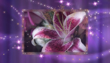 Stargazer lily HD wallpaper