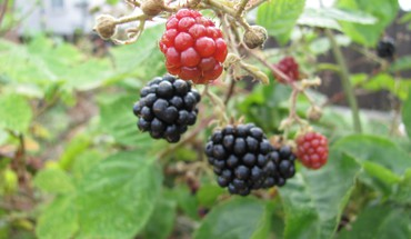 Blackberries fruits nature HD wallpaper