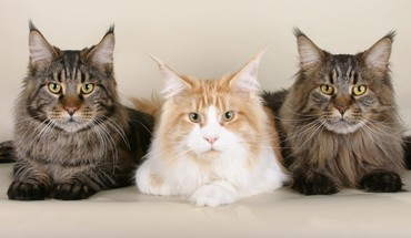Cats animals maine fluffy three HD wallpaper