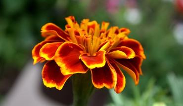 Marigold flower HD wallpaper