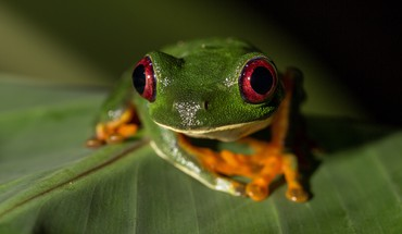 Redeyed tree frog amphibians animals frogs HD wallpaper