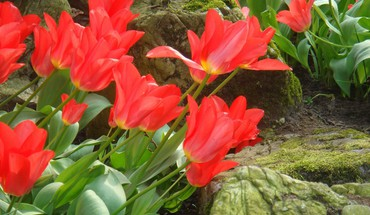 Red beautiful tulips HD wallpaper