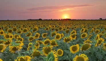 Sunset texas sunflowers HD wallpaper