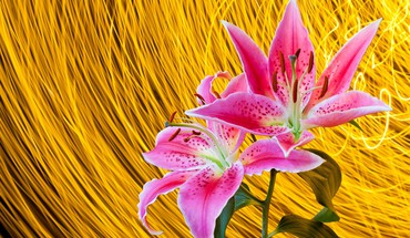 Pink lillies on yellow HD wallpaper