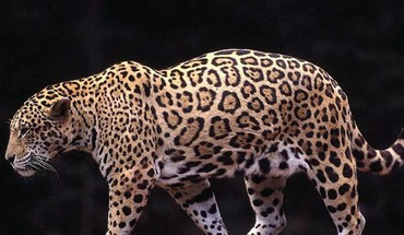 Galingas leopardas  HD wallpaper