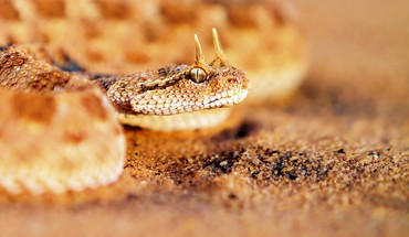 Rattlesnake  HD wallpaper