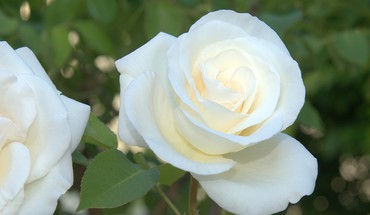 White satin rose HD wallpaper