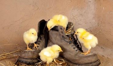 Boots chickens chicks (chickens) baby birds HD wallpaper