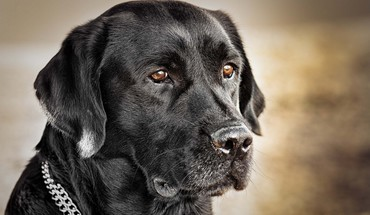 Black labrador retriever HD wallpaper