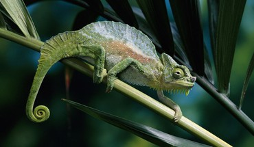 Animals chameleons camouflage reptiles HD wallpaper