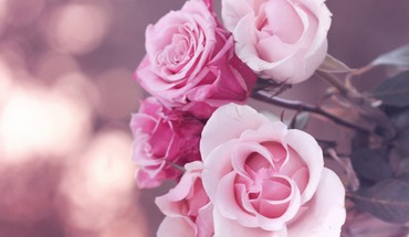 Flowers roses pink rose HD wallpaper
