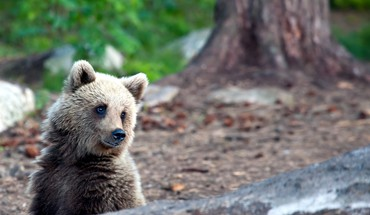 Nature animals bears HD wallpaper