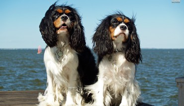 Cavalier king charles spaniels HD wallpaper