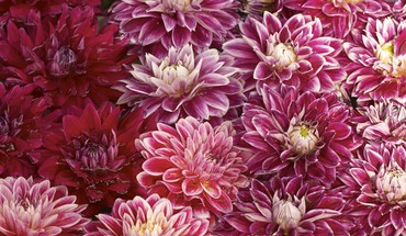 Colorful chrysanthemums HD wallpaper