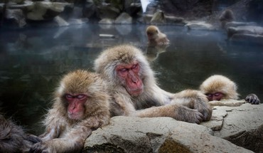 Animals hdr photography snow monkey japanese macaque HD wallpaper