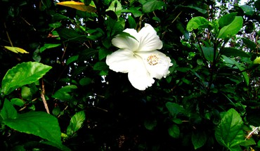 White hibiscus HD wallpaper