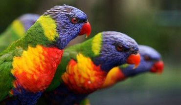 Multicolor birds animals parrots rainbow lorikeet HD wallpaper