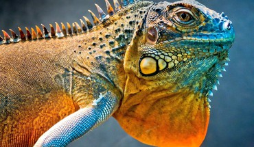 iguane Incroyable  HD wallpaper