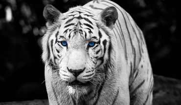 Tigers photographie HDR HD wallpaper