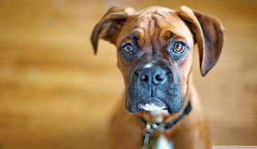 Close-up nature animals dogs sad boxer dog HD wallpaper