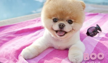 Animals dogs worlds pets pomeranian boo HD wallpaper