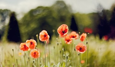 Grass fields poppies HD wallpaper