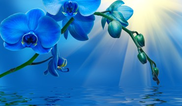 Blue orchid HD wallpaper