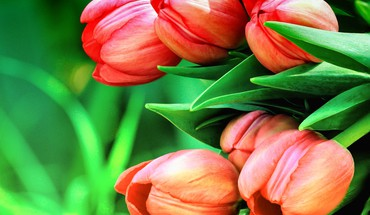Tulips background HD wallpaper