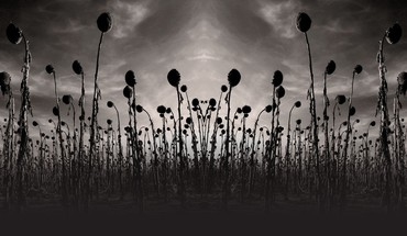 Monochrome Album-Cover Sonnenblumen Dead Can Dance  HD wallpaper