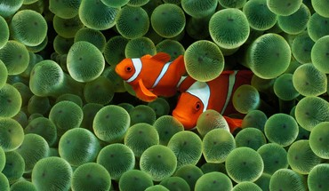 Animaux clowns anémones de mer de poissons  HD wallpaper