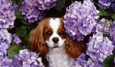 Animals dogs spaniel king charles hydrangeas HD wallpaper