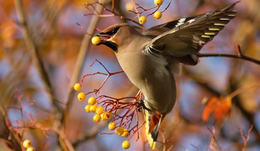 Berries feeding waxwing birds HD wallpaper