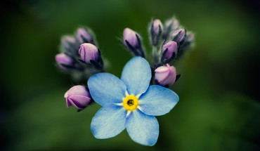 Forgetmenots flowers macro nature HD wallpaper