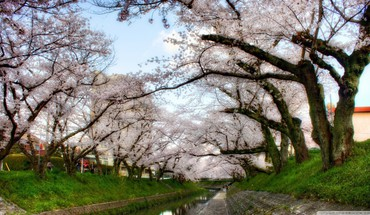Cherry blossoms HD wallpaper