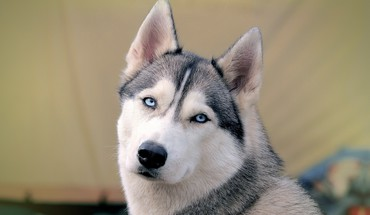 Eyes blue animals dogs husky HD wallpaper