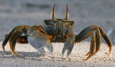 Probe animals crabs crustacean HD wallpaper