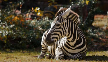 Animals zebras HD wallpaper