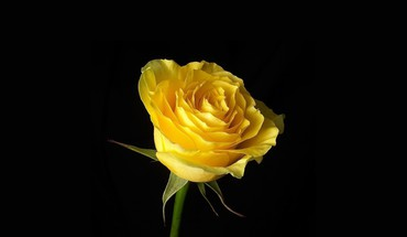 Beautiful yellow rose HD wallpaper
