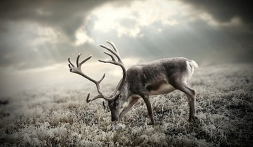Reindeer antlers HD wallpaper