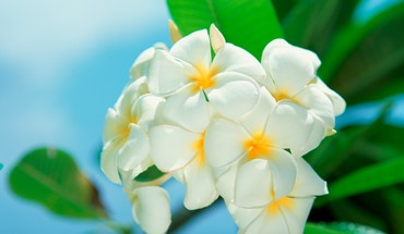 Beaches flowers plumeria white HD wallpaper